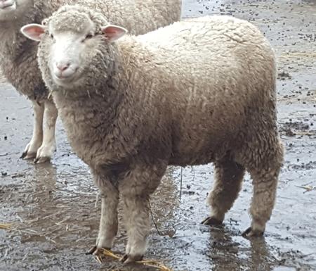 Maine Sheep Breeders Association - Classified Ads
