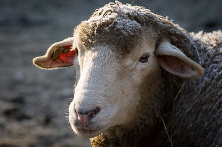 Maine Sheep Breeders Association